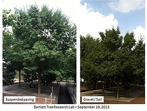 photo comparing trees grown with suspended pavement and in gravel/soil